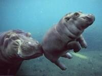 Dragoste frateasca intre o fetita si un pui de hipopotam!