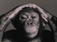 Cimpanzeul Jimmy ii calca pe urme lui Picasso! Are mare talent la pictura