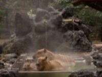Bai fierbinti pentru animalele de la gradinile zoologice din Japonia!