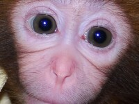 O maimuta paralizata a reinceput sa mearga cu ajutorul celulelor susa