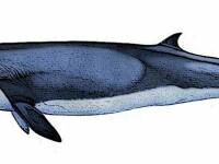 O specie de mamifere considerata disparuta acum 2 milioane de ani traieste si in prezent