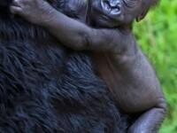 Primele imagini cu puiul de gorila nascut in captivitate la Gradina Zoologica din San Francisco