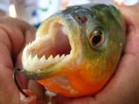 Cum arata in realitate un atac piranha. Pestii devoreaza bucatile de carne in doar cateva secunde. VIDEO