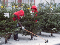 Cat vor costa brazii de Craciun anul acesta la Romsilva. Regia Padurilor a taiat doar 33.000 de arbori