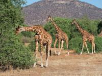 Girafele sunt pe cale de disparitie. Avertismentul facut de activistii ecologisti