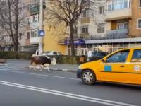O vacă s-a plimbat pe o stradă din Târgoviște, sub privirile polițistilor, care nu au intervenit. VIDEO