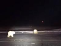 Doi urși polari, surprinși pe un aeroport din Alaska. VIDEO