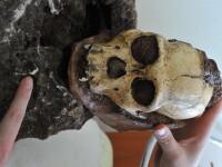 Descoperire importantă: specia unui strămoș al omului, necunoscută până acum