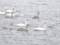 Spectacol fascinant pe un lac de acumulare din Alba. Zeci de lebede au poposit aici