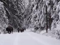 Turmă de 10 zimbri, surprinsă într-o pădure din Parcul Naţional Vânători