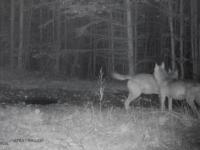 Imagini spectaculoase. Ipostazele în care au fost filmați lupii în Parcul Național Piatra Craiului