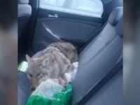 Surpriză pentru un bărbat care a crezut că a lovit un câine și l-a luat în mașină. Ce era de fapt