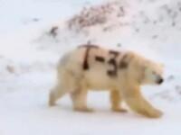 """Urs polar cu mesajul """"T-34"""" inscripționat pe corp, filmat în Rusia. Ce spun cercetătorii"""