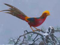 Specie extrem de rară de fazan, filmată într-o regiune muntoasă din China
