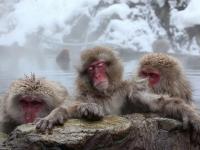 Maimuțele din Japonia și-au creat propriul \
