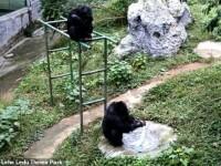 Imagini incredibile cu un cimpanzeu. Ce a început să facă după ce a rămas singur VIDEO