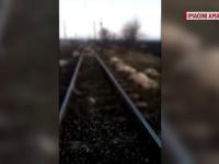 Masacru în Brașov. Peste 60 de oi au fost ucise într-un accident feroviar