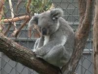 Motivul pentru care peste 69 de urși koala au fost internați de urgență în spital