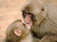 Maimutele dintr-o insula japoneza isi spala cartofii inainte de a-i manca