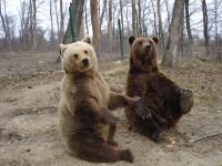 Turistii instalati cu cortul langa Busteni, vizitati de o familie de ursi