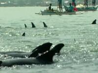 Sute de delfini dezorientati, salvati de pescarii filipinezi