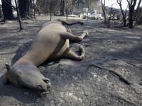 Peste un milion de animale si-au pierdut viata in incendiile din Australia