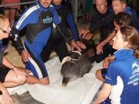 Delfin salvat de un alt delfin, dupa ce a fost atacat de rechini!
