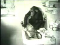 Uite cum spala un cimpanzeu o pisica!