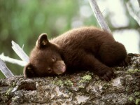 Knut, inlocuit cu doi pui de urs brun. Au fost respinsi de mama