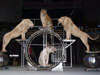 Imagini cutremuratoare: animale de circ tinute in mizerie si tratate cu cruzime