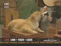 Ligrul, cea mai mare felina, si alte animale din Cartea Recordurilor!
