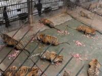 Oribil! Tortureaza si omoara tigrii ca apoi sa faca vin din oasele lor!