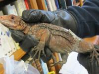 Reptile pe cale de disparitie, ascunse in sosete de doua romance. Erau aproape 10% dintr-o specie rara de iguane
