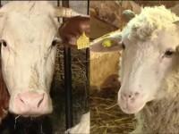 Normele europene ne vor lasa fara lapte de vaca autohton. Fermierii renunta la bovine si cresc oi pe mult mai putini bani