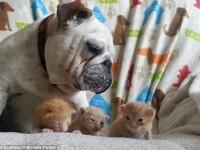 Dragoste fara frontiere. Gestul protector al unui bulldog, fata de surorile sale adoptive... niste pisici. VIDEO