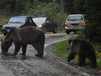 O femeie din Mures risca sa ramana desfigurata dupa ce a fost atacata de o ursoaica flamanda