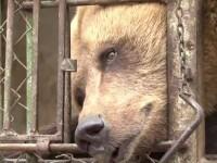 Ursii flamanzi, iesiti din hibernare, dau atac dupa atac. Marturia unei victime: