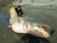 Captura impresionanta a unui pescar italian. A prins un somn de 127 de kilograme cu lanseta si l-a eliberat imediat. FOTO