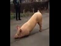 Imagini virale pe internet. Un porc a fost filmat in timp ce se