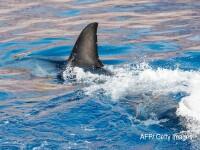 Moment terifiant surprins de o drona in Australia. Un rechin a inotat la mai putin de un metru de un surfer. VIDEO