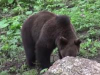 Vânătoarea urşilor ar putea să NU mai fie interzisă în România. Ce spun autorităţile