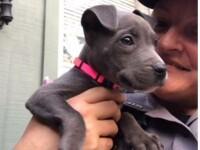 Puiul de pitbull, lăsat să moară de frig, adoptat de un ofițer din California