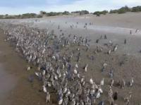 Spectacol în Patagonia. Sute de mii de pinguini se pregătesc să migreze spre nord