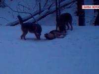 Haită de lupi filmată în timp ce se juca în zăpadă, în Parcul Național Porțile de Fier