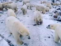 """Momentul în care 50 de urși polari sunt filmați scormonind printre gunoaie. """"Este invazie"""""""