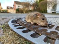 VIDEO viral. Zeci de șobolani sar dintr-o mașină de gunoi și fug pe o stradă în Viena
