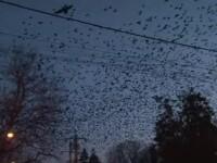 """Scene ca din """"Păsările"""" lui Hitchcock în Botoșani. Localnicii, disperați de invazie"""