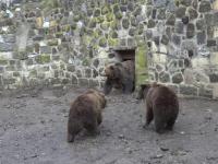 Ursul ce prevesteşte cum va fi iarna în România. Tradiţia seamănă cu cea a marmotei din SUA