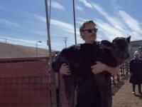 VIDEO. Momentul în care actorul Joaquin Phoenix salvează un vițel dintr-un abator