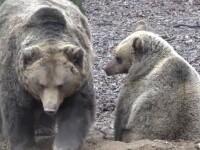Previziunile meteo ale urșilor de la Grădina Zoologică din Târgu Mureș. Este o veche tradiție